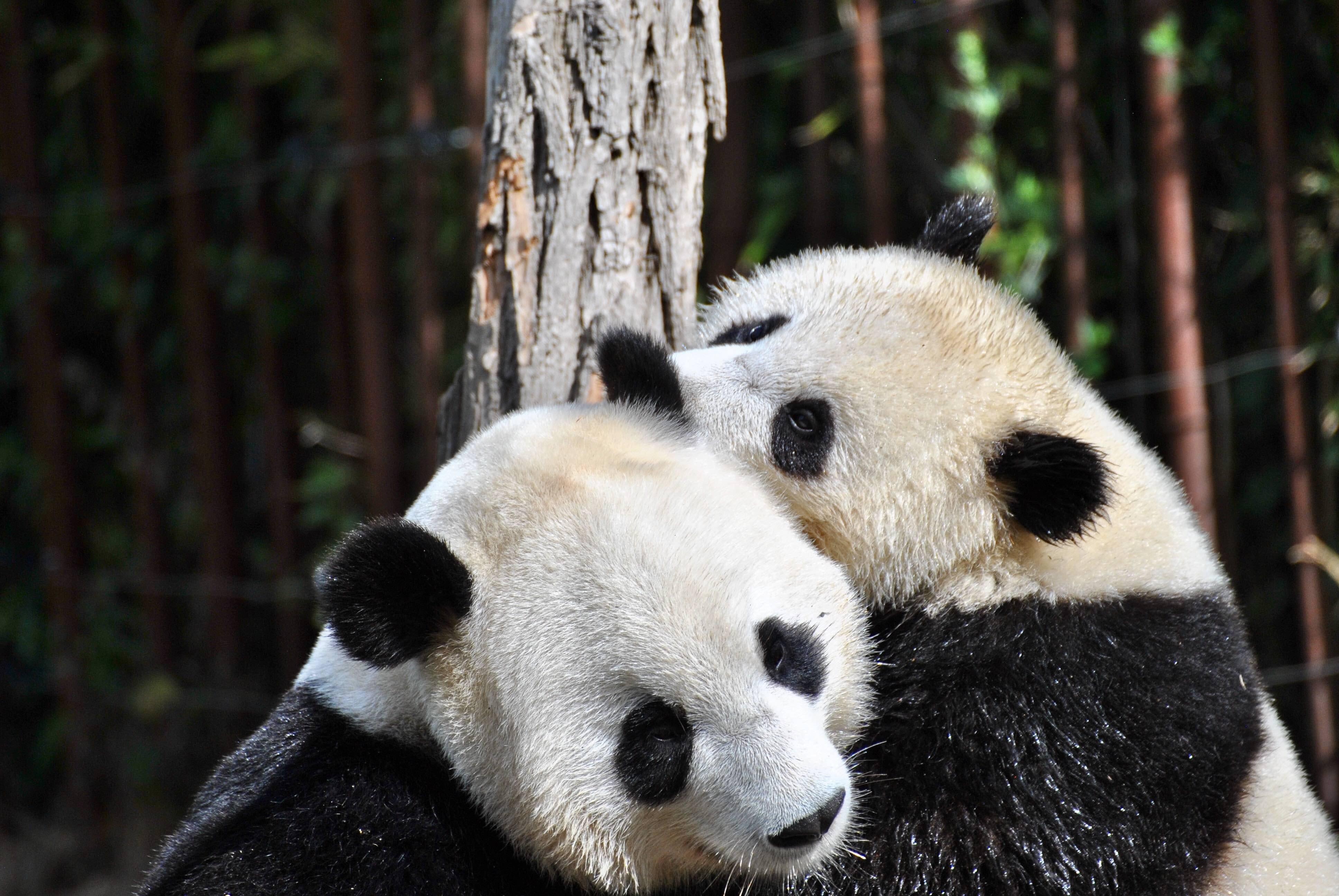 Two panda bears hug in a natural environment